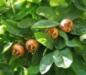 medlar fruit tree image